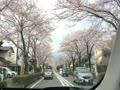 秦野の桜みち。